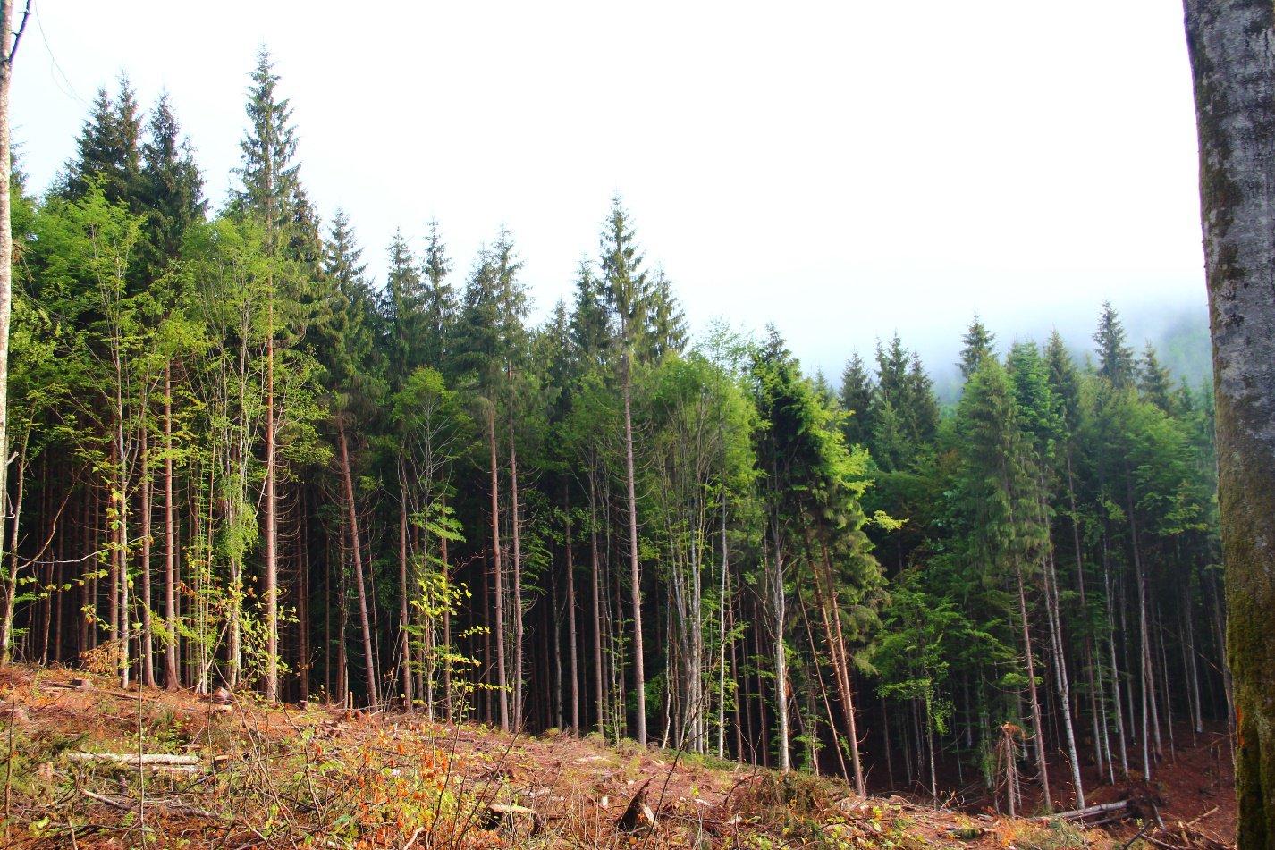 «Хворий та вітровальний» берегозахисний ліс у Брустурянському лісгоспі, який мав би бути захищений новим законом. У липні 2020 року зрубаний суцільною санітарною рубкою. Фото: FreeSvydovets